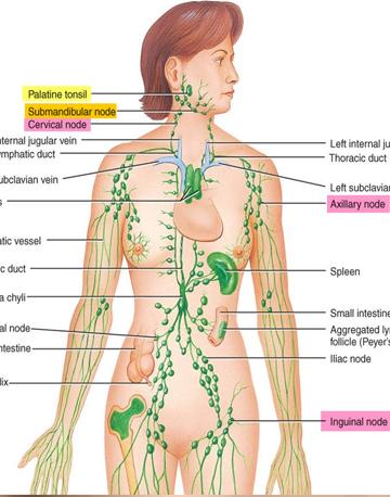 Homomotoxic complex - Lymph